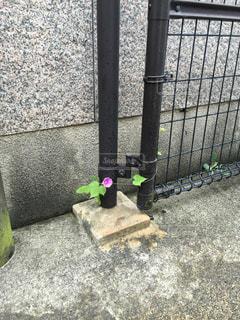 コンクリートの中に咲く朝顔の写真・画像素材[1994180]