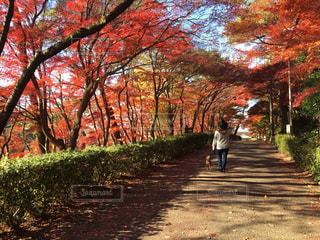 犬,公園,紅葉,散歩,女の子,いぬ,プードル,トイプードル,レッド,わんちゃん