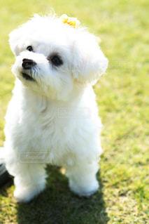 犬,公園,動物,芝生,白,リボン,マルチーズ,お散歩,小型犬,わんちゃん,ワンコ,白い犬,小さい犬