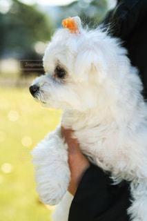 犬,動物,白,リボン,マルチーズ,抱っこ,お散歩,小型犬,白い犬,小さい犬
