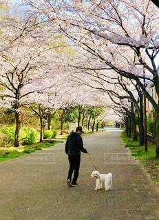 犬,春,桜並木,満開,ミックス犬,犬の散歩,マルプー