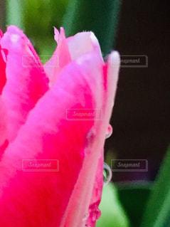 「雨上がりのチューリップ」の写真・画像素材[2146442]