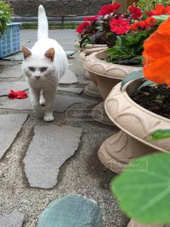 「ネコとサンパチェンス」の写真・画像素材[2303088]