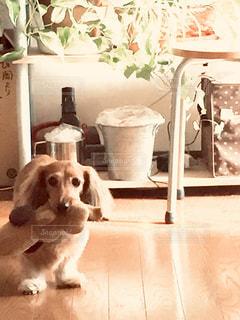 「ぬいぐるみをくわえたうちの愛犬」の写真・画像素材[2454547]