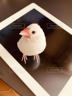 ipadの上が大好きな白文鳥の写真・画像素材[2094755]