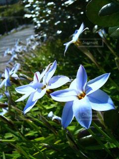 公園の小路に咲く可憐な星型の花の写真・画像素材[1974107]