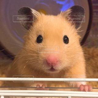 ハムスター,かわいい,茶色,クリーム,ペット,小さい,小動物,ベージュ,キンクマ,キンクマハムスター,ミルクティー,キュート,マウス,ネズミ,クリーム色,ミルクティー色