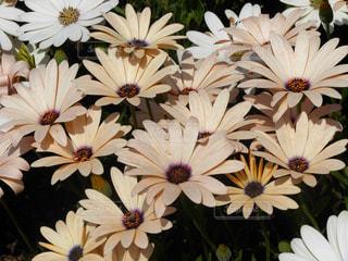 花,フラワー,ベージュ,ガーベラ,ミルクティー色