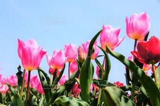 チューリップが咲いた♪の写真・画像素材[1972868]