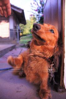 犬,芝生,ペット,ダックスフント,草木,お手