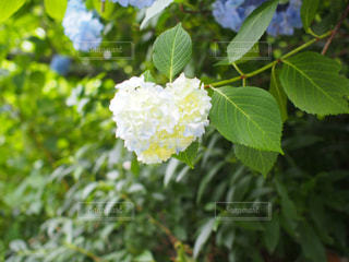 白,ハート,紫陽花,可愛い