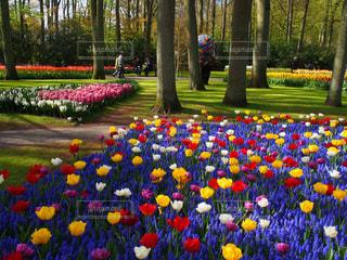 キューケンホフを背景にしたカラフルな花園の写真・画像素材[3030170]