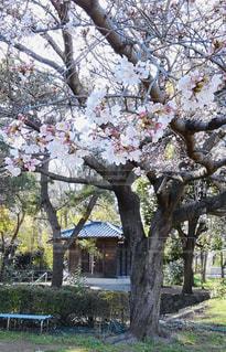 公園,花,春,桜,屋外,樹木,ブロッサム