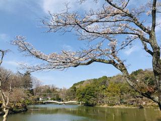 自然,空,桜,屋外,湖,水辺,ブロッサム