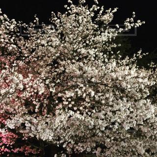 ピンクと白と夜の写真・画像素材[1892940]