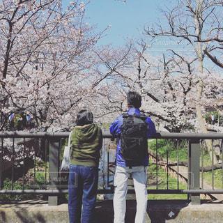 桜,橋,後ろ姿,川,夫婦