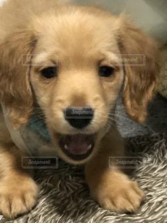 犬,茶色,わんこ,カメラ目線,イヌ,ミルクティー色