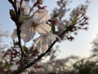 春の写真・画像素材[1991069]