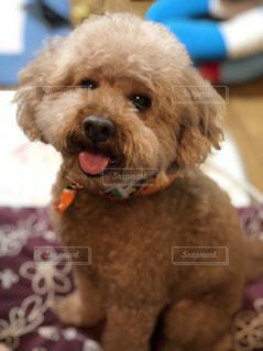 犬 可愛い トイプードル