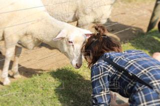 晴れた日に草を食べる羊の一団の写真・画像素材[2131694]