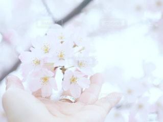 桜の写真・画像素材[1897068]