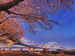お気に入りの夜桜景色の写真・画像素材[1937591]
