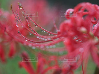 花,秋,屋外,赤,水,水滴,キラキラ,水玉,彼岸花,曼珠沙華,雨上がり,雫,玉ボケ,しずく,マクロレンズ