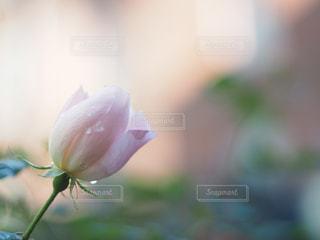 花,水,水滴,バラ,花びら,薔薇,水玉,雨上がり,雫,しずく