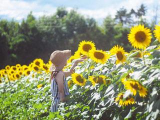 ひまわり畑の写真・画像素材[2142050]