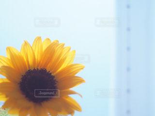 向日葵の写真・画像素材[2164701]
