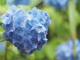 紫陽花の写真・画像素材[2164754]