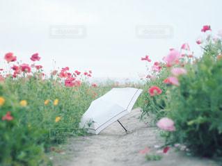 ポピーと傘の写真・画像素材[2177596]