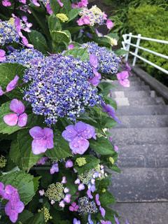ガクアジサイの階段の写真・画像素材[2187133]