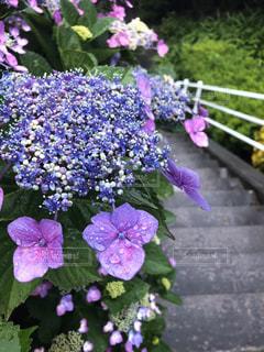 花,雨,屋外,植物,階段,あじさい,草花,紫陽花,外,雫,梅雨,しずく,雨の日,段差,雨雫