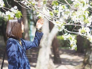 桜シルエットの写真・画像素材[2233642]