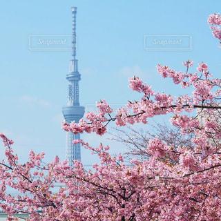スカイツリーと桜の写真・画像素材[2260331]
