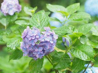 ハートの紫陽花の写真・画像素材[2263350]