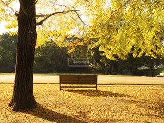 銀杏の木の下のベンチの写真・画像素材[2511442]