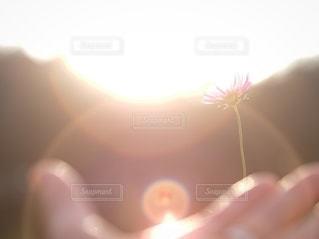 コスモスに光をの写真・画像素材[2622713]