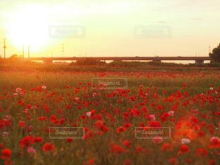 自然,風景,空,花,夕日,お花畑,屋外,太陽,夕焼け,景色,光,夕陽,ポピー畑,草木