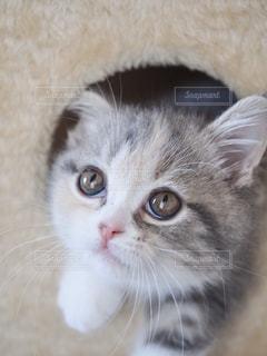 猫,動物,リビング,屋内,かわいい,室内,ペット,子猫,癒し,キャットタワー,目,見つめる,マンチカン,ネコ,丸い顔,ネコ科の動物