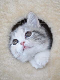 猫,動物,屋内,かわいい,室内,ペット,子猫,人物,癒し,キャットタワー,目,マンチカン,前足,自宅,ネコ,ネコ科の動物