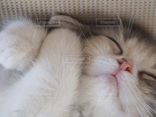 猫,動物,かわいい,ペット,寝顔,寝る,子猫,ソファー,人物,癒し,マンチカン,前足,自宅,ネコ,ネコ科の動物,室内屋内