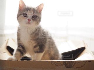 猫,動物,屋内,かわいい,室内,窓,光,ペット,箱,子猫,癒し,座る,マンチカン,ネコ,ネコ科の動物
