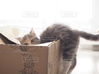 猫,動物,屋内,かわいい,室内,窓,光,ペット,子猫,癒し,マンチカン,ネコ,ダンボール箱,ネコ科の動物
