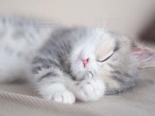 ベッドに横たわる灰色と白の猫の写真・画像素材[2947361]