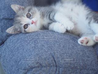 猫,動物,リビング,屋内,室内,ペット,寝る,子猫,人物,癒し,眠い,見つめる,横になる,マンチカン,ネコ,座椅子,ネコ科の動物,猫フォト