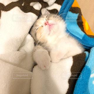 猫,動物,リビング,屋内,かわいい,室内,ペット,寝顔,布,子猫,人物,癒し,可愛い,毛布,寝相,キティ,ブランケット,ネコ