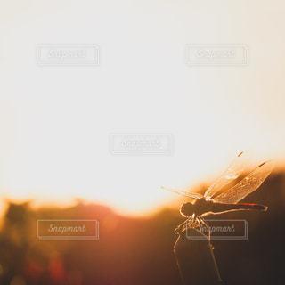 夕焼け赤トンボの写真・画像素材[2983550]