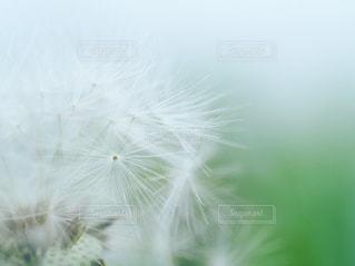 綿毛のクローズアップの写真・画像素材[2983692]